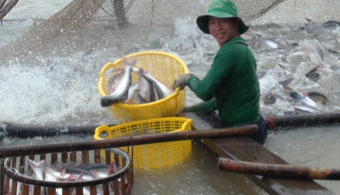 Hộ dân nuôi cá tra điêu đứng vì khoản vay không được đáo hạn