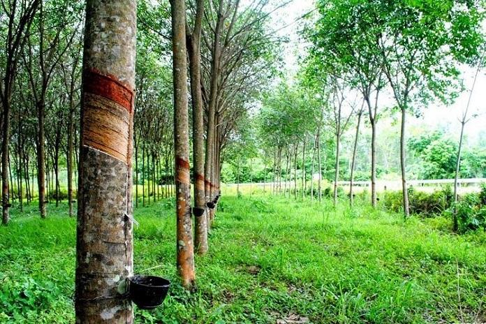 Các bước chuyển đổi đất trồng cây lâu năm lên thổ cư